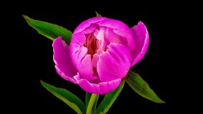 Rosa Pfingstrosenblumenblühen stock footage