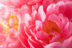 Rosa Pfingstrosenblumenblumenblattmakrohintergrund Lizenzfreie Stockfotos