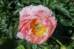 Rosa Pfingstrosenknospe mit einem gelben Herzen, auf einem Hintergrund von grünen Blättern, Nahaufnahme Lizenzfreies Stockfoto