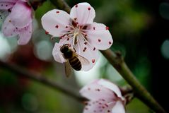 Rosa Pfirsichblüten und -biene im März stockfoto