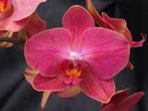 Rosa Phaelenopsis-Blumen Stockfotos