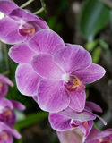 Rosa Phalaenopsis Royaltyfri Foto