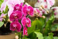 Rosa Phalaenopsis-Orchideenblume in einem tropischen Garten Ausführliche vektorzeichnung Lizenzfreies Stockbild