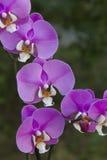 Rosa phalenopsis Orchidee Lizenzfreie Stockfotografie