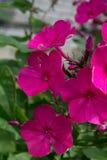 Rosa phlox Royaltyfri Bild