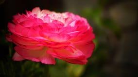 'Rosa Picotee' för Ranunculus (den persiska smörblomman) blomma Arkivfoton