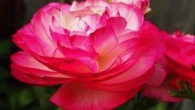 'Rosa Picotee' för Ranunculus (den persiska smörblomman) blomma Fotografering för Bildbyråer