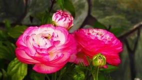 'Rosa Picotee' för Ranunculus (den persiska smörblomman) blomma Arkivbilder