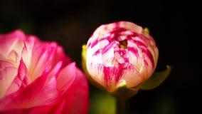 'Rosa Picotee' för Ranunculus (den persiska smörblomman) blomma Arkivbild