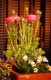 'Rosa Picotee' för Ranunculus (den persiska smörblomman) blomma Royaltyfri Fotografi