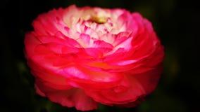 'Rosa Picotee' för Ranunculus (den persiska smörblomman) blomma Arkivfoto