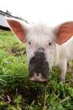 Rosa Pig Grönt gräs smutsig näsa royaltyfria bilder