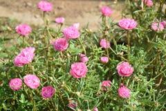 Rosa Pigweed, allgemeiner Purslane, portulaca blüht, Verdolaga Stockbilder