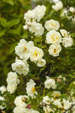Rosa pimpinellifolia Stock Photos