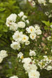 Rosa pimpinellifolia Royalty Free Stock Photo