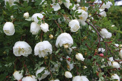 Rosa pimpinellifolia white flowers blossom. Stock Photo