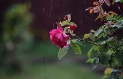 Rosa in pioggia Immagini Stock Libere da Diritti