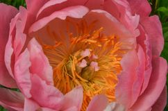 Rosa pion arkivfoton