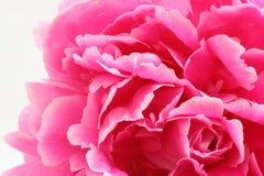 Rosa pion Arkivfoto