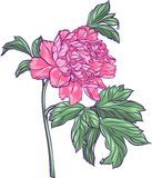 Rosa pion Royaltyfria Foton