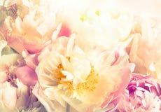 Rosa pion Royaltyfri Bild