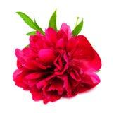 Rosa pion Arkivbilder