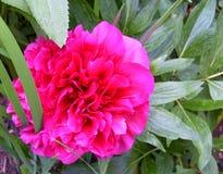 Rosa pion Royaltyfria Bilder