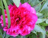Rosa pion Arkivbild