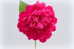 Rosa pion Royaltyfri Fotografi