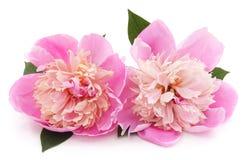 Rosa pion Fotografering för Bildbyråer