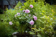 Rosa pion Bush Royaltyfri Foto