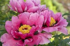 Rosa pion Bush royaltyfria bilder