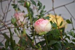 Rosa pion i rosa closeup för vårfilialer Arkivbilder