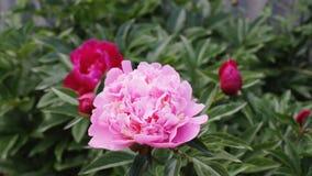 Rosa pion i trädgård arkivfilmer