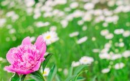 Rosa pion i trädgården arkivbilder