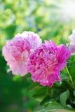 Rosa pion i trädgården Royaltyfri Foto