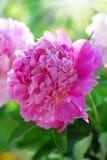 Rosa pion i trädgården Arkivfoton