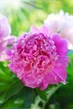 Rosa pion i trädgården Arkivfoto