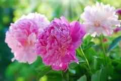 Rosa pion i trädgården Royaltyfria Foton