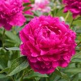 Rosa pion i trädgården Royaltyfri Bild