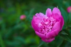 Rosa pion i trädgården på en grön bakgrund Royaltyfri Fotografi