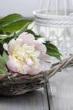 Rosa pion i vide- korg på den lantliga trätabellen Fotografering för Bildbyråer