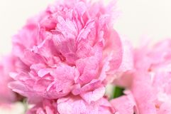 Rosa pion med den mjuka fokusen Passande som en blom- abstrakt bakgrund Arkivfoto