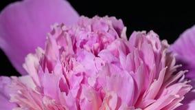 Rosa pion som blommar på våren stock video