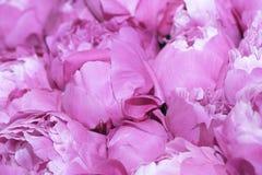 Rosa pionbakgrund royaltyfri fotografi