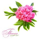 Rosa pionblomma Royaltyfria Bilder