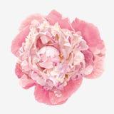 Rosa pionblomma Royaltyfri Fotografi