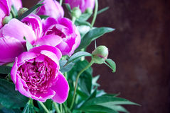 Rosa pionblomma Royaltyfria Foton