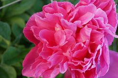 Rosa pionblomma i en botanisk tr?dg?rd arkivfoto