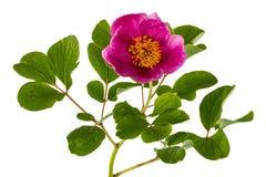 Rosa pionblomma som isoleras på vit bakgrund Arkivfoto